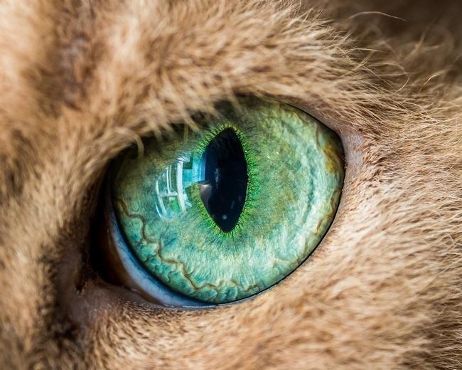 fascinantes-fotografias-de-olhos-de-gatos-por-andrew-marttila (13)