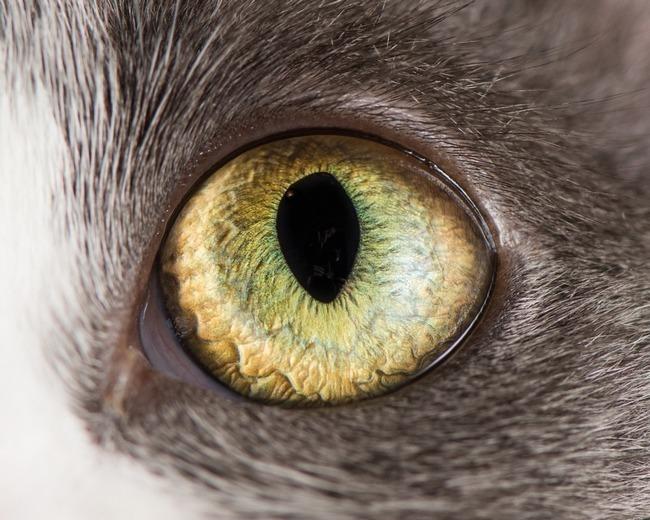 fascinantes-fotografias-de-olhos-de-gatos-por-andrew-marttila (17)