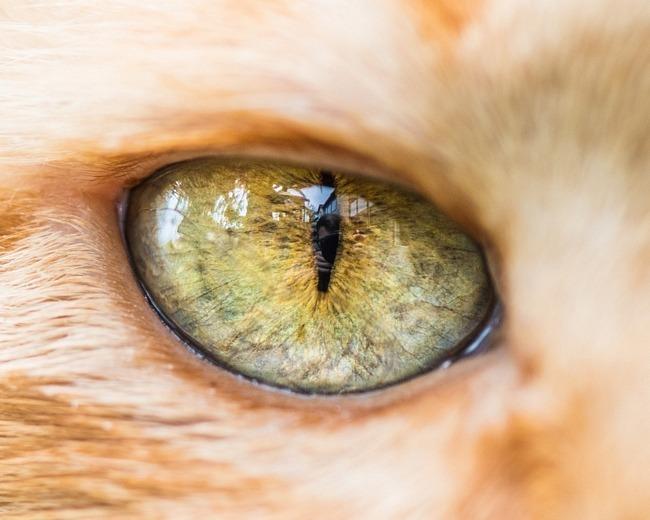 fascinantes-fotografias-de-olhos-de-gatos-por-andrew-marttila (19)