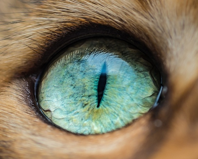 fascinantes-fotografias-de-olhos-de-gatos-por-andrew-marttila (2)