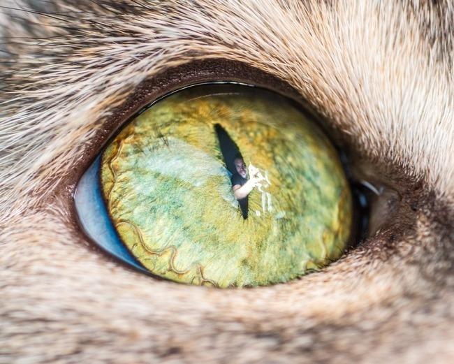 fascinantes-fotografias-de-olhos-de-gatos-por-andrew-marttila (9)